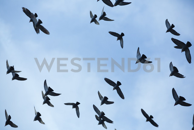 Flock of doves (Columbidae) flying in front of blue sky, view from below - NGF000117 - Nadine Ginzel/Westend61
