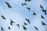 Flock of doves (Columbidae) flying in front of blue sky, view from below - NGF000117