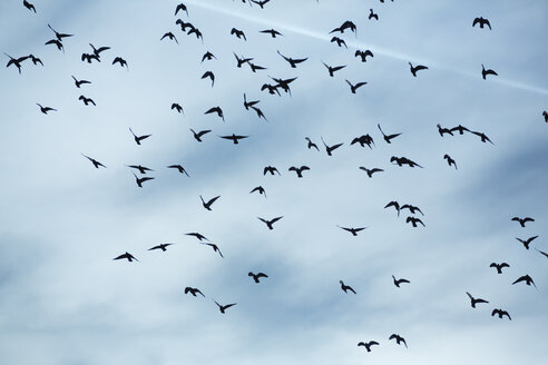 Flock of doves (Columbidae) flying in front of cloudy sky - NGF000115