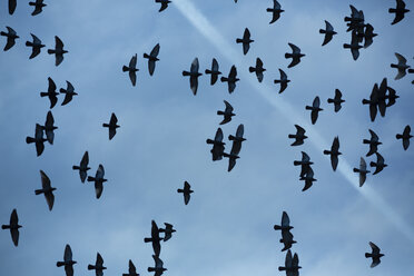 Flock of doves (Columbidae) flying in front of cloudy sky, view from below - NGF000114
