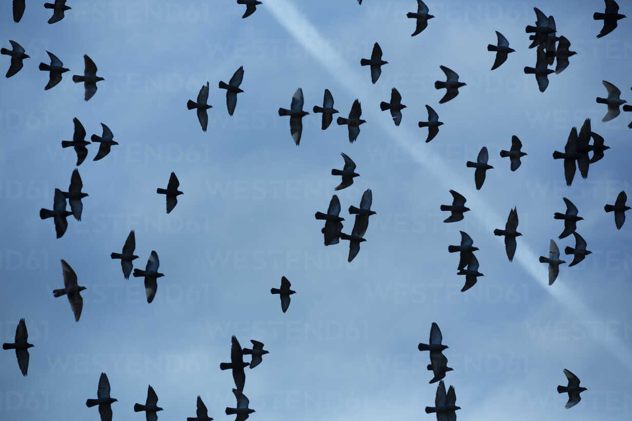 Flock of doves (Columbidae) flying in front of cloudy sky, view from below - NGF000114 - Nadine Ginzel/Westend61