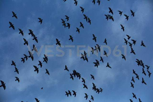 Flock of doves (Columbidae) flying in front of cloudy sky, view from below - NGF000111 - Nadine Ginzel/Westend61