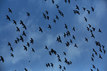 Flock of doves (Columbidae) flying in front of cloudy sky, view from below - NGF000111