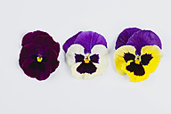 Three pansies (Viola) on white background - GWF002640