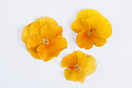 Three orange pansies (Viola) on white background - GWF002641