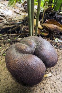 Seychelles, Praslin, Vallee de Mai, Coco de Mer (Lodoicea maldivica), ripe fruit - WEF000013