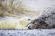 Germany, Helgoland, Duene Island, Grey seal (Halichoerus grypus) and grey seal pup at beach - FOF006283