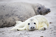 Germany, Helgoland, Duene Island, Grey seal (Halichoerus grypus) and grey seal pup at beach - FOF006287