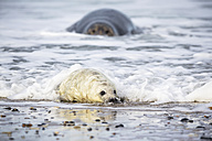 Germany, Helgoland, Duene Island, Grey seal (Halichoerus grypus) and grey seal pup at beach - FO006293