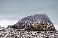 Germany, Helgoland, Duene Island, Grey seal (Halichoerus grypus) at beach - FO006158