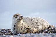 Germany, Helgoland, Duene Island, Grey seal (Halichoerus grypus) at beach - FOF006163