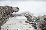 Germany, Helgoland, Grey Seals (Halichoerus grypus) - FOF006105