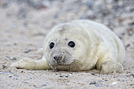 Germany, Helgoland, Duene Island, Grey seal pup (Halichoerus grypus) lying at shingle beach - FO006118