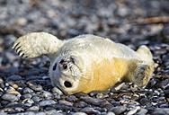 Germany, Helgoland, Duene Island, Grey seal pup (Halichoerus grypus) lying at shingle beach - FOF006107