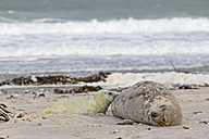 Germany, Helgoland, Duene Island, Grey seal (Halichoerus grypus) is suckling her pup at beach - FOF006173