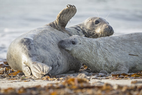 Germany, Helgoland, Duene Island, Grey seal (Halichoerus grypus) is suckling her pup at beach - FO006181