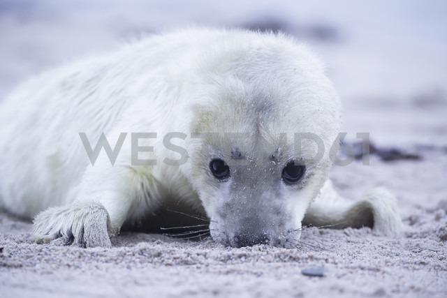 Germany, Schleswig-Holstein, Helgoland, Duene Island, grey seal pup (Halichoerus grypus) lying on the beach - FOF006140