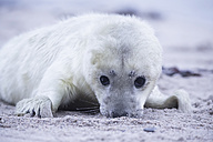 Germany, Schleswig-Holstein, Helgoland, Duene Island, grey seal pup (Halichoerus grypus) lying on the beach - FOF006140