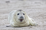 Germany, Schleswig-Holstein, Helgoland, Duene Island, grey seal pup (Halichoerus grypus) lying on the beach - FO006142