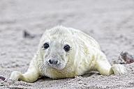 Germany, Schleswig-Holstein, Helgoland, Duene Island, grey seal pup (Halichoerus grypus) lying on the beach - FOF006145