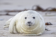 Germany, Schleswig-Holstein, Helgoland, Duene Island, grey seal pup (Halichoerus grypus) lying on the beach - FOF006150