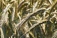 Germany, Rhineland-Palatinate, spikes of rye field, close-up - CSF020911
