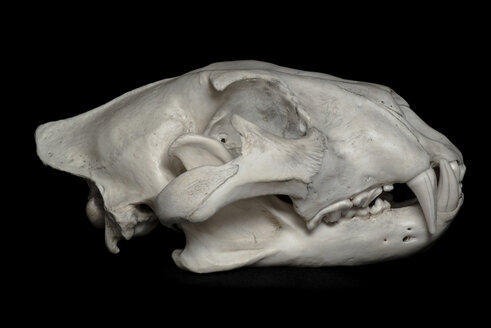 Skull of lion (Panthera leo) in front of black background - MW000026