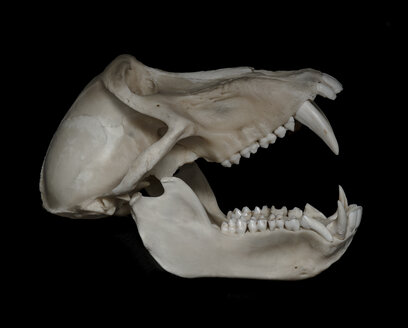 Skull of baboon (Papio) in front of black background, side view - MW000029