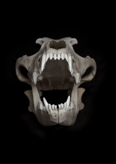 Skull of wolf (Canis lupus) in front of black background - MW000032
