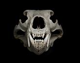 Skull of polar bear (Ursus maritimus) in front of black background - MW000018