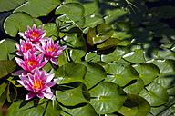 Germany, Bavaria, Wuerzburg, water lily - NDF000436