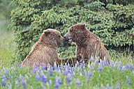 USA, Alaska, Lake Clark National Park and Preserve, Brown bears (Ursus arctos) at play - FOF006260