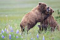 USA, Alaska, Lake Clark National Park and Preserve, Brown bears (Ursus arctos) at play - FO006262