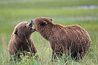 USA, Alaska, Lake Clark National Park and Preserve, Brown bears (Ursus arctos) at play - FO006266