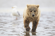 USA, Alaska, Lake Clark National Park and Preserve, Brown bear cub (Ursus arctos) - FOF006250
