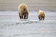USA, Alaska, Lake Clark National Park and Preserve, Brown bear and bear cub (Ursus arctos), foraging - FOF006246