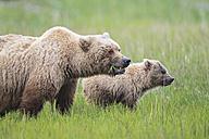 USA, Alaska, Lake Clark National Park and Preserve, Brown bear and bear cub (Ursus arctos) - FOF006240