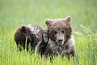 USA, Alaska, Lake Clark National Park and Preserve, Brown bear cubs (Ursus arctos) - FOF006236