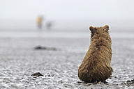 USA, Alaska, Lake Clark National Park and Preserve, Brown bear cub (Ursus arctos) - FOF006229
