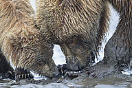 USA, Alaska, Lake Clark National Park and Preserve, Brown bear and bear cub (Ursus arctos), foraging mussels - FO006222