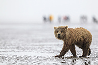 USA, Alaska, Lake Clark National Park and Preserve, Brown bear cub (Ursus arctos) - FOF006277