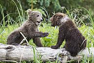 USA, Alaska, Lake Clark National Park and Preserve, Playing Brown bears (Ursus arctos), young animals - FOF006212