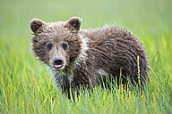 USA, Alaska, Lake Clark National Park and Preserve, Brown bear cub (Ursus arctos) standing on meadow, tongue - FOF006210