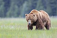 USA, Alaska, Lake Clark National Park and Preserve, Brown bear (Ursus arctos) - FO006207