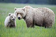 USA, Alaska, Lake Clark National Park and Preserve, Brown bear and bear cub (Ursus arctos) - FO006201