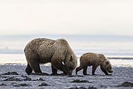 USA, Alaska, Lake Clark National Park and Preserve, Brown bear and bear cub (Ursus arctos), foraging mussels - FO006195