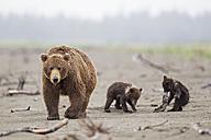 USA, Alaska, Lake Clark National Park and Preserve, Brown bear with cubs - FOF006300
