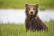 USA, Alaska, Lake Clark National Park and Preserve, Brown bear cub (Ursus arctos) sitting on meadow - FOF006274