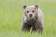 USA, Alaska, Lake Clark National Park and Preserve, Brown bear cub (Ursus arctos) standing on meadow - FOF006255