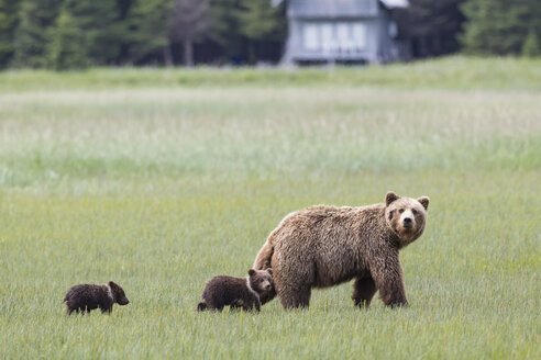 USA, Alaska, Lake Clark National Park and Preserve, Brown bear with cubs - FO006304